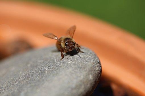 Honeybee, Macro, Water, Close-up, Wings, Eyes, Apiary