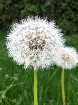 Dandelion, Green, Outdoor, Nature, Grass, Port Moody
