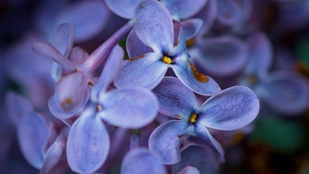Flowers, Blossom, Purple, Macro, Dreamy, Spring, Nature