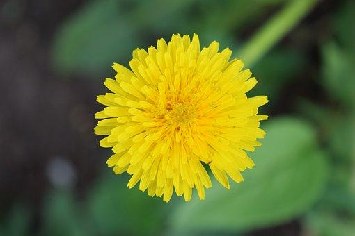 Dandelion, Yellow, Greens, Flower, A Yellow Flower