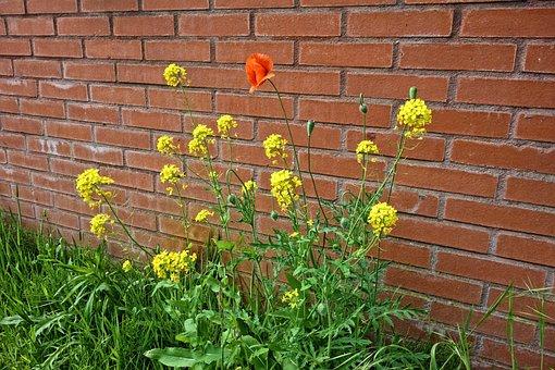 Poppy, Rape Seed, Flower, Blooming, Wild Flowers