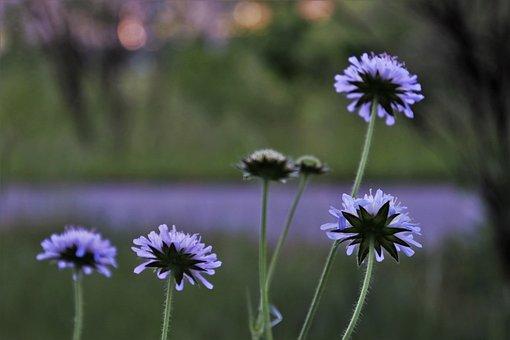Flowers Wildflowers, Violet, Field Plant, Wildflower