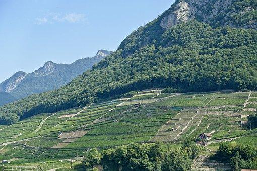 Vineyard, Grapes, Vines, Agriculture, Harvest
