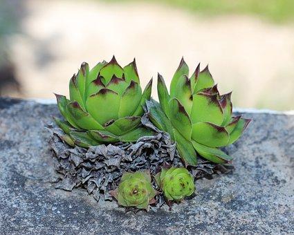 Houseleek, House Leek, Plant, Sempervivum, Nature