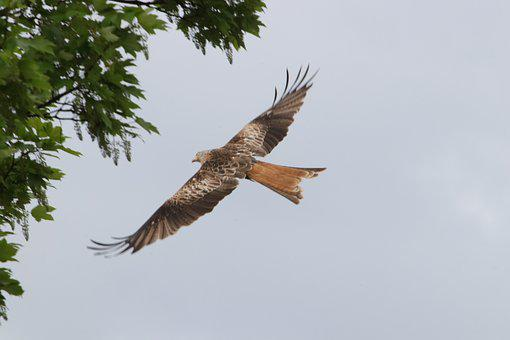 Red Kite, Raptors, Bird, Prey, Nature, Animal, Kite