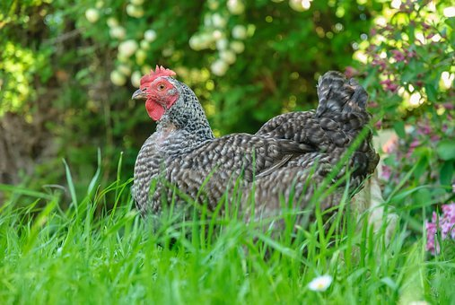 Hen, Prairie, Nature, Laying Hens, Laying Hen