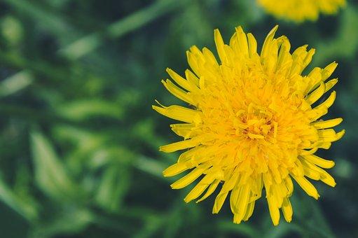 Mother And Stepmother, Dandelion, Krupnyj Plan, Flower
