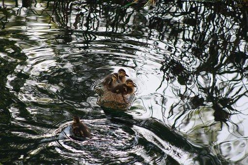 Baby Ducks, Ducks, Pond, Cute, Nature