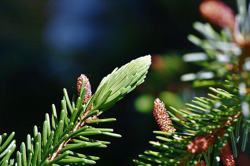 Pine Branch, Spruce Drive, Spruce, Needles, Engine