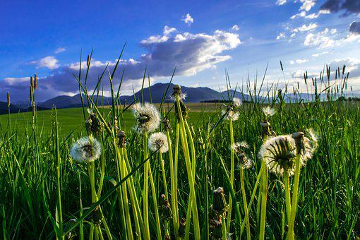 Dandelion, Fluff, Odkvetlá Plant, Grass, Meadow, Green