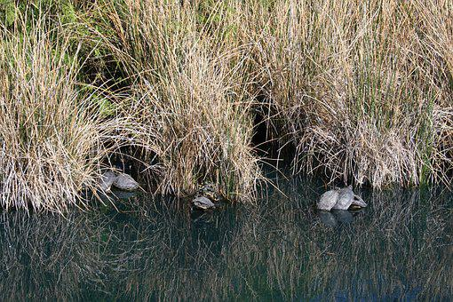 Turtle, Turtles, Nature, Water, Peaceful
