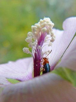 Weevil, Beetle, Pollen, Pistils, Stamens, Flower, Libar