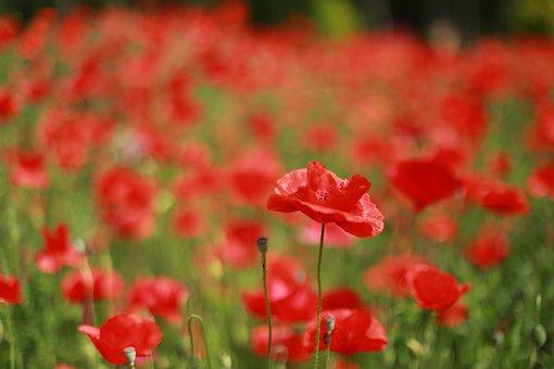 Poppy, Flowers, Wildflower, Poppy Fields