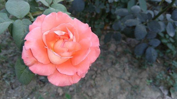 Rose, Red, Flower, Love, Romance, Nature, Blossom, Leaf