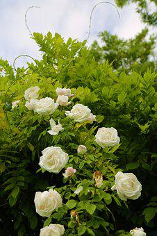 White Rose, Rose, Sprout, Exile, Plant, Flower, Tree