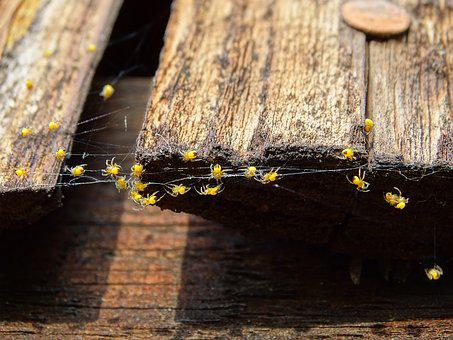 Spider Babies, Spider Nest, Spider, Spin, Arachnids