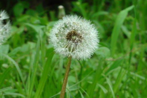 Dandelion, Flower, Nature, Spring, Meadow, Field, Green