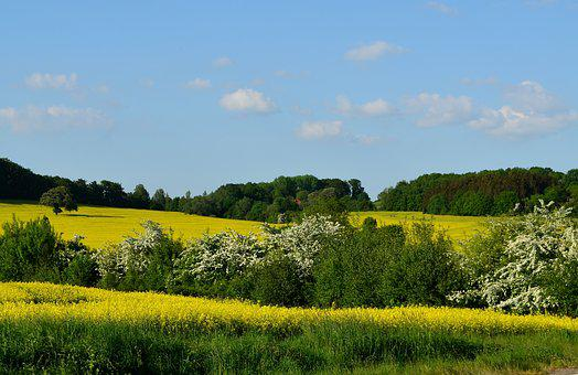 Field Of Rapeseeds, Spring, Rape Blossom, Oilseed Rape