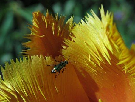 Tip Beetle, Beetle, Two Blotchy Tip Beetle