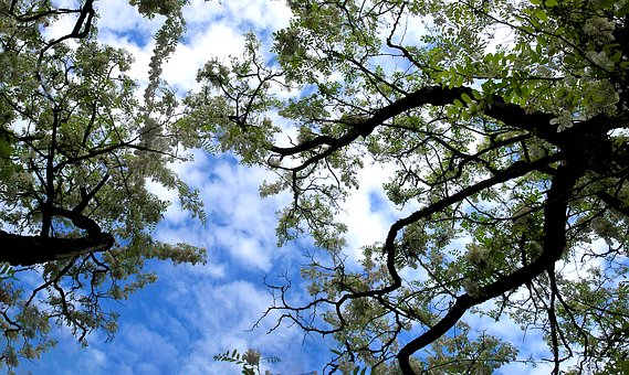 Acacia, Spring, The Sky, Flowers, Tree, Blooming Tree