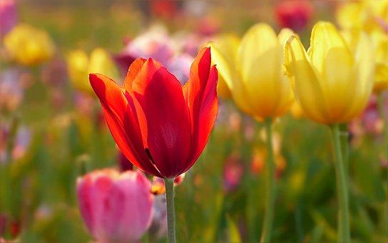Tulips, Flowers, Plant, Tulipa, Colorful, Tulip Field