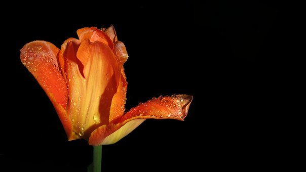 Tulip, Plant, Nature, Blossom, Bloom, Flower, Close