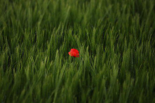 Nature, Rarely, Tulip, Field, Meadow, Arable, Rarity