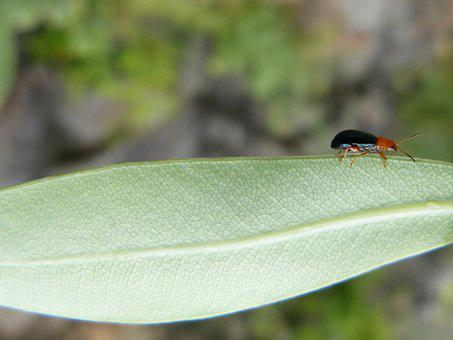 Weevil, Beetle, Leaf, Tiny, Insect, Small