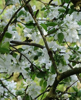 Apple Blossom, White Flowers, Fruit Tree Blossoming