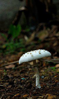 Mushroom, White, White Mushroom, Food, Nature, Organic