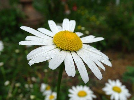 Marguerite, Raindrop, Wild Daisy, Daisy Plant