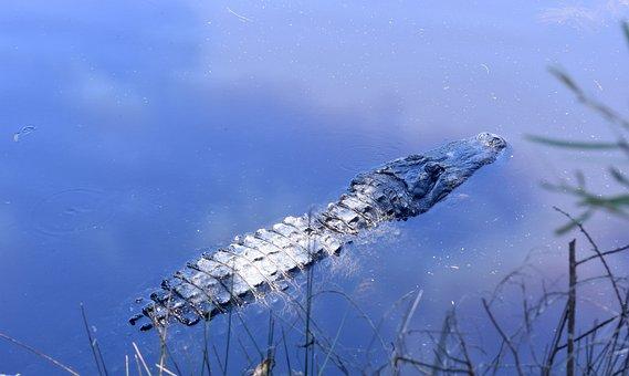 Aligator, Water, Zoo, Reptile, Crocodile, Danger