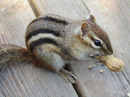 Chipmunk, Animal, Mammal, Cute, Wild, Brown, Adorable