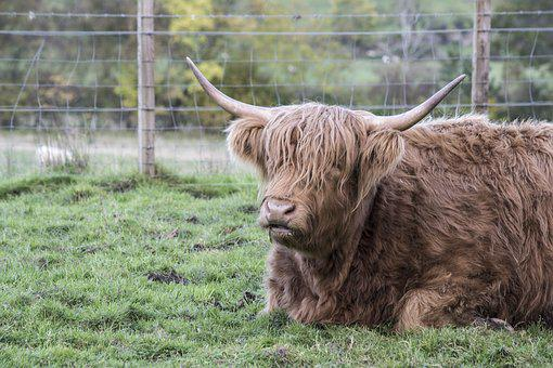 Animal, Animals, Scotland, Goat, The Highland Cow