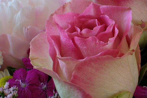 Rose, Close, Rose Blooms, Flower, Blossom, Bloom