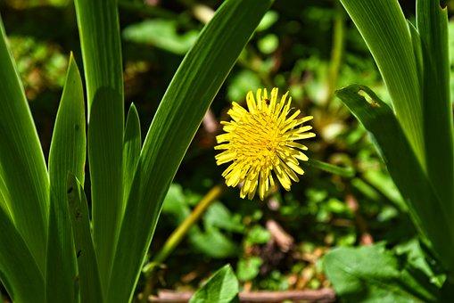 Dandelion, Flower, Plant, Blossom, Taraxacum, Perennial