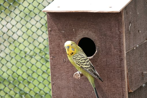 Budgie, Parakeet, Birds, Wildlife Photography