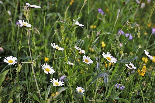 Wildflowers, Camomile, Meadow, Chamomile, Nature