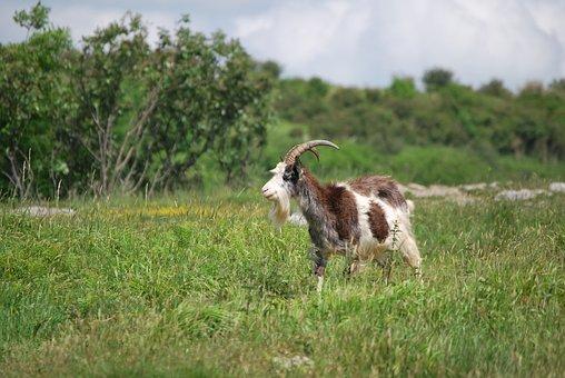 Goat, Animal, Meadow, Capricorn
