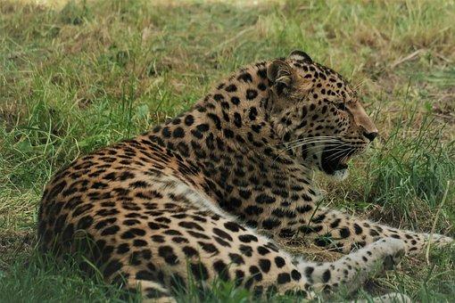 Leopard, Cat, Animal World, Nature, Dangerous, Predator