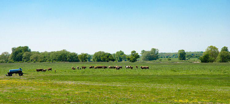 Cows, Cattle, Pasture, Graze, Meadow, Agriculture