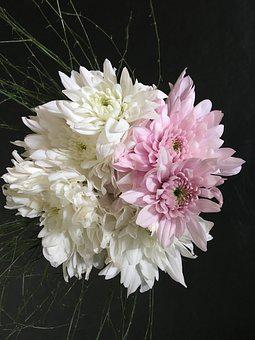 Dahlias White, Dahlias Pink, Dalia, Flower, Flowers