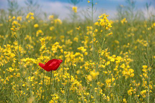 Poppy, Field Of Rapeseeds, Arable, Red, Yellow