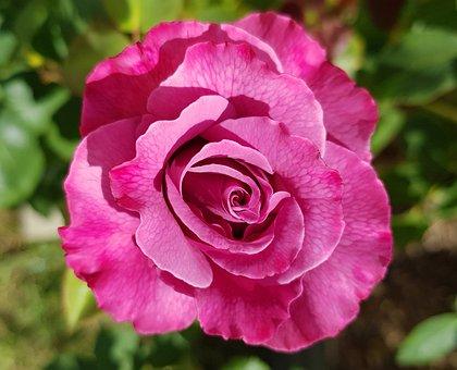 Pink Rose, Roses, Romantic, Floral, Elegance, Vintage