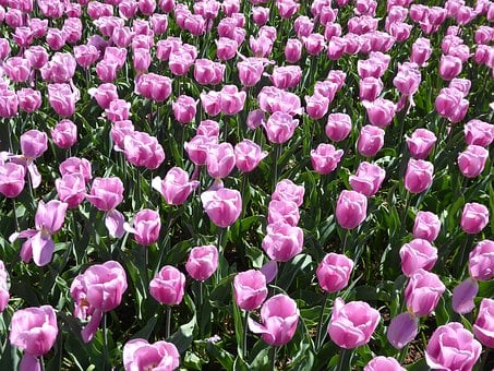 Tulip, Flower, Pink, Lily, Spring, Garden
