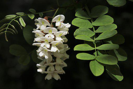 Acacia, White, Flowering, Plant, White Flowers, Nature
