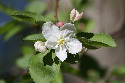 Apple Tree, Blooming, Flowers, Tree, Garden, Bud
