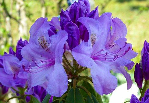 Nature, Garden, Flower, Blossom, Bloom, Rhododendron