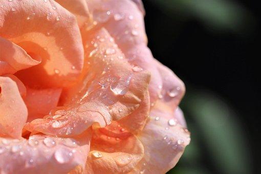 Rain Drops On Rose Leaf, Golden Medal Rose, Macro