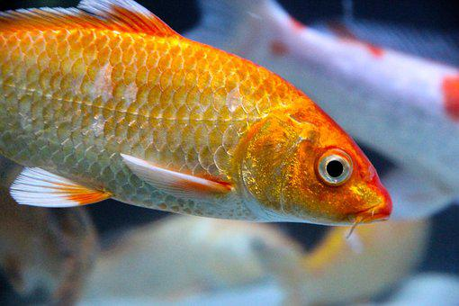 Carp, Koi, Goldfish, Fish, Calm, Exotic, Golden